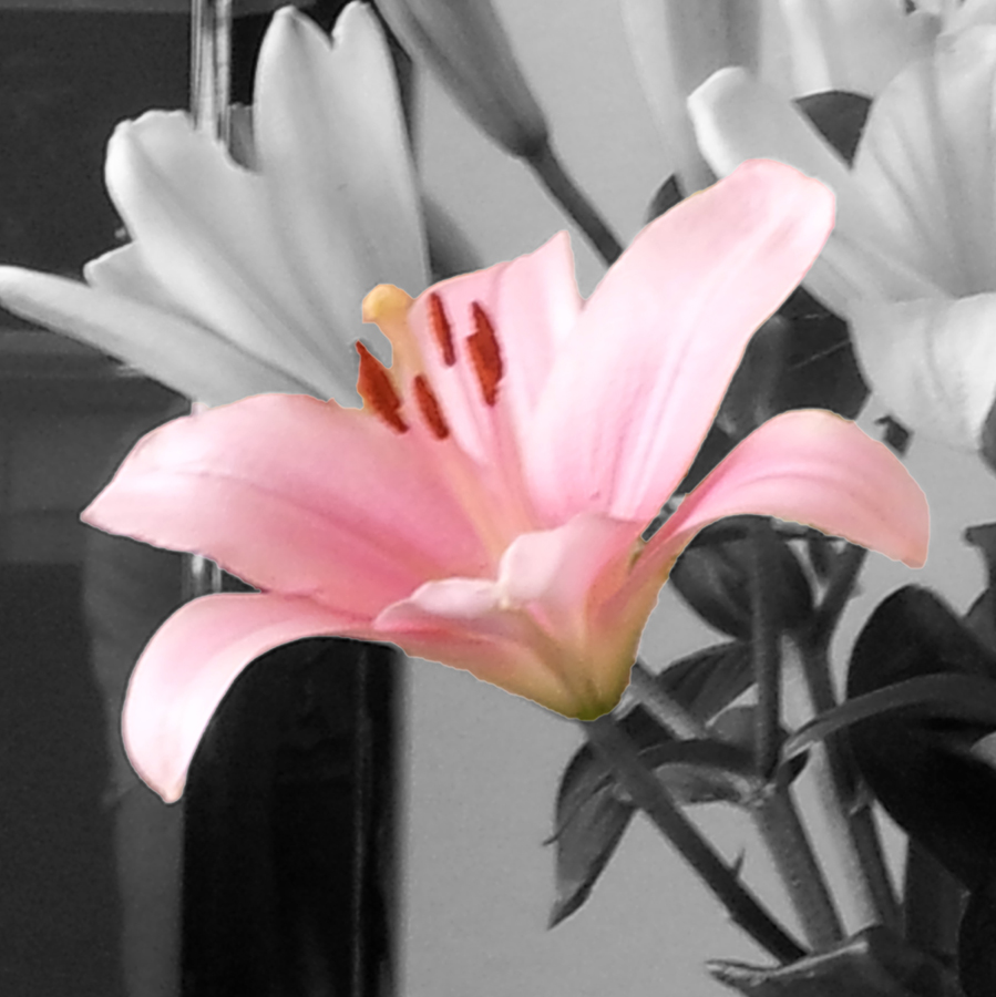 Oriential lily flower